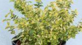 Euonymus-Emerald-Gold-2