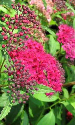 Spiraea_japonica_Darts_Red