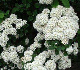 spiraea-japonica-albiflora
