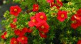 4704_Potentilla-fruticosa-Red-Robin