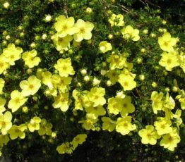 Potentilla-Gold-Star