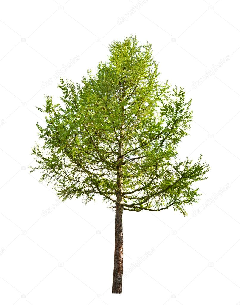 depositphotos_12357333-stock-photo-green-larch-isolated-on-white