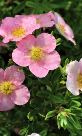 lapchatka-kustarnikovaja-pink-byuti-pink-beauty