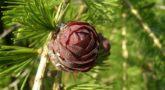 лиственница сибирская 1