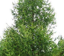 лиственница сибирская 3