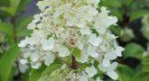 Hydrangea-paniculata-Candlelight_3