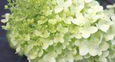 Hydrangea-paniculata-Diamantino_2