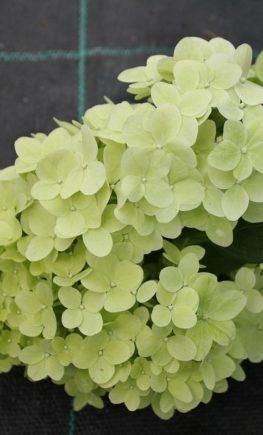 Hydrangea-paniculata-Diamantino_4