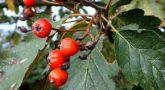 Sorbus-intermedia-2