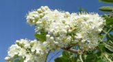 Sorbus-pendula-3