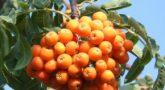 Sorbus-pendula-4
