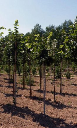 Tilia-Greenspire-5