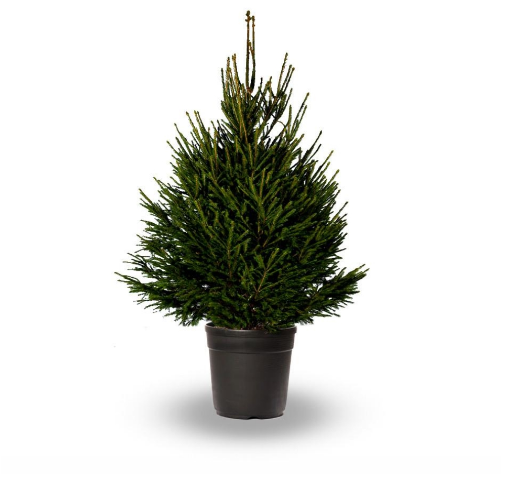 Картинка декоративная елка
