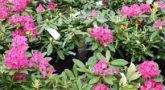 Rododendron-Nova-Zembla2