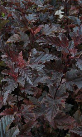 Physocarpus-opulifolius-Red-Baron-2