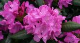 413803608_w640_h640_rododendron-vechnozelyonyj-rozeum