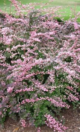 barbaris-tunberga-pink-kvin-berberis-thunbergii-pink-queen-massiv.jpg