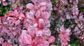 Berberis thunbergii Pink Quenn1-1024x1024