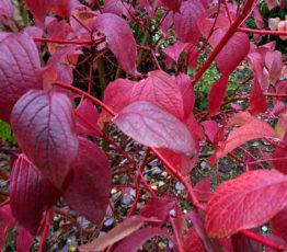 дерен-красный-8okt-www.florapassionis.com_