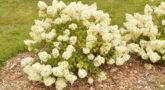 Hydrangea-paniculata-Bobo-July-1-1