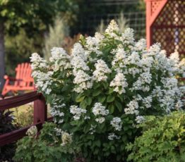 Hydrangea_WhiteDiamonds_FirstEditionsPlants_04-600x600