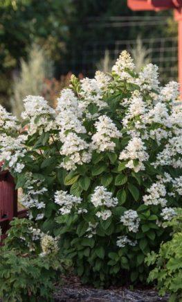 Hydrangea_WhiteDiamonds_FirstEditionsPlants_04-600x600