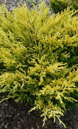 juniperus-horizontalis-limeglow