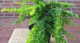 Berberis-Green-Carpet-4