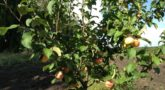 jablonja-grushovka