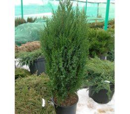 Juniperus-Stricta-4